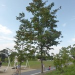 Ostrya carpinifolia - Hopfenbuche, Wuchs
