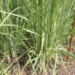 Pennisetum macrourum - afrikanisches Lampenputzergras, Laub, runde Halme