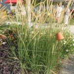 Pennisetum macrourum - afrikanisches Lampenputzergras, Wuchs