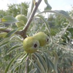 Pyrus salicifolia - weidenblättrige Birne, Frucht