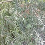 Pyrus salicifolia - weidenblättrige Birne, Laub