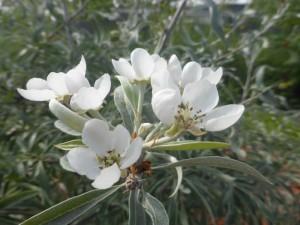 Pyrus salicifolia - weidenblättrige Birne, Blüte