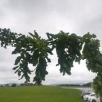 Robinia pseudoacacia Tortuosa - Korkenzieherakazie, Detail Ast