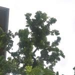 Robinia pseudoacacia Tortuosa - Korkenzieherakazie, Kronenform