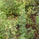 Rosa pimpinellifolia - Bibernellrose, Fruchtstand, schwarze Hagebutten