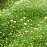 Sagina subulata - Sternmoos in Blüte