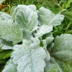 Salvia argentea - Silberblatt