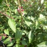 Salvia hybride Love and Wishes - Salbei, Wuchs