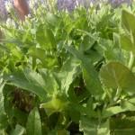 Salvia nemorosa Adrian - weißer Ziersalbei, Laub