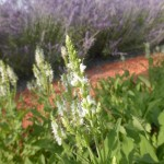Salvia nemorosa Adrian - weißer Ziersalbei, Blütenrispe