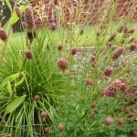 Sanguisorba officinalis Tanna - Wiesenknopf, Blütenstand