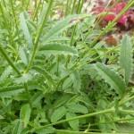 Sanguisorba officinalis Tanna - Wiesenknopf, Detail Laub
