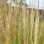 Schizachyrium scoparium - Bartgras, Präriegras, Ähren