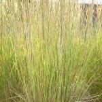 Schizachyrium scoparium - Präriegras, Bartgras, Wuchs
