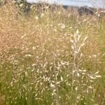 Sporobolus heterolepsis Duftwolke - Tautropfengras, Blütenähren