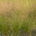 Sporobolus heterolepsis Duftwolke - Tautropfengras, Wuchs