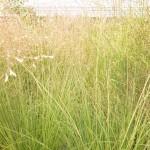 Sporobolus heterolepsis Duftwolke - Tautropfengras, horstartiger Wuchs, filigran