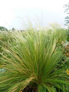 Stipa (Nasella) tenuissima - zartes Federgras