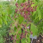 Tetradium daniellii hupehensis - Duft-Esche, Detail Blüten