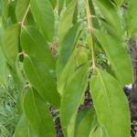 Tetradium daniellii hupehensis - Duft-Esche, Detail Laub
