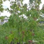 Tetradium daniellii hupehensis - Duft-Esche, Wuchs sehr junger Baum