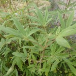 Vitex anguns-castus - Mönchspfeffer, Laub