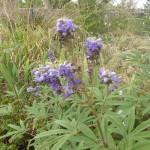 Vitex anguns-castus - Mönchspfeffer, Blütenstand