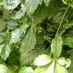 Gynostemma pentaphyllum - Kraut der Unsterblichkeit, Jiaogulan, Detail Blüte