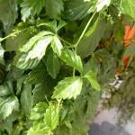 Gynostemma pentaphyllum - Kraut der Unsterblichkeit, Jiaogulan, Detail Blatt