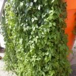Gynostemma pentaphyllum - Kraut der Unsterblichkeit, Jiaogulan, Wuchs