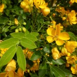 Senna corymbosa früher Cassia - Gewürzrinde, Details Blüte und Blatt