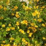 Senna corymbosa früher Cassia - Gewürzrinde, Wuchs
