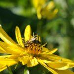 durchwachsene Silphie, Biene auf gelber Blüte