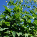 Wuchs der durchwachsenen Silphie, inkl gelber Korbblüten