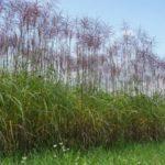 Miscanthus Malepartus als Gräserhecke, Sichtschutz im Sommer