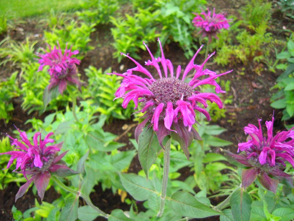 Monardablüte, Indianernessel