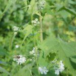 Sida hermaphrodita - Sidapflanze mit weißen Büschelblüten