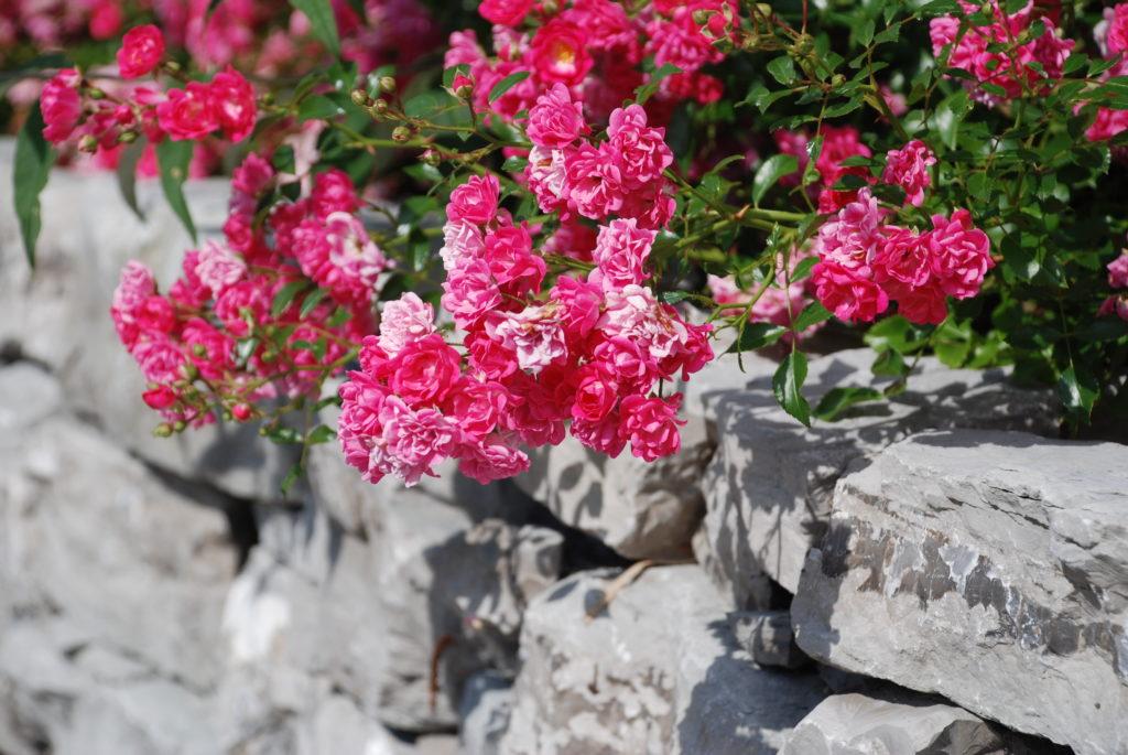 Bodendeckerrose The Fairy wachsen eine Lagensteinmauer hinunter