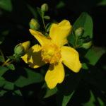 großblumiges gelb blühendes Johanniskraut, Hypericum Hidecote