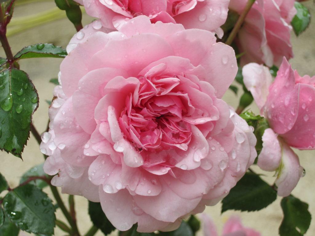 Rosa blühende Rose kurz nach dem Regen, Blütenblätter und Laub sind noch voller Wassertropfen