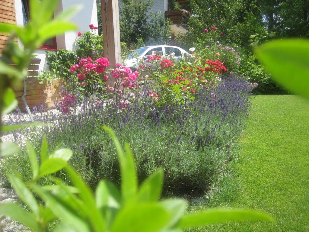 Rosenbeet, umrandet von Lavendel