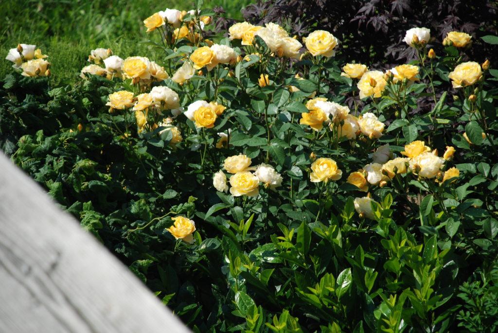 Strauchrosen gelb kombiniert mit Kirschlorbeer