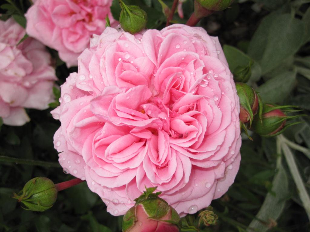 gefüllte Rosenblüte, rosa, Wassertropfen nach dem Regen