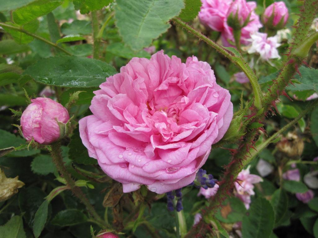 gefüllte, duftende alte englische Rose in rosa