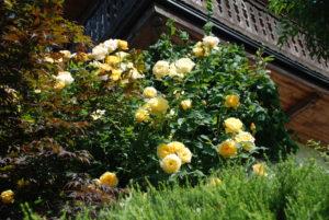 gelbe Strauchrose unter Holzbalkon
