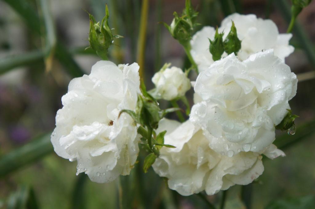 weiße Rose, die Blüten sind klein und in Büscheln angeordnet